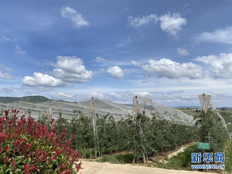 (决战决胜脱贫攻坚·图文互动)(3)高原红了,日子好了——贵州海拔最高县发展苹果产业见闻